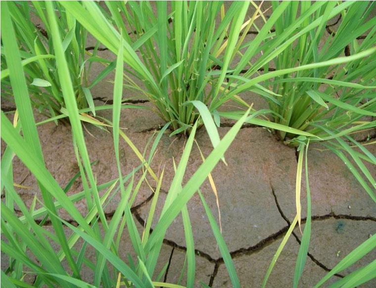 強い中干し終了時の田面の様子(平成20年)
