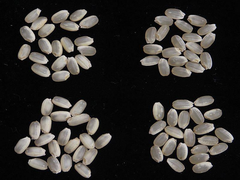 高温・寡照耐性検定試験区の玄米