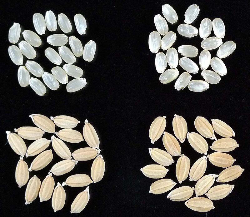 「笑みの絆」の籾および玄米